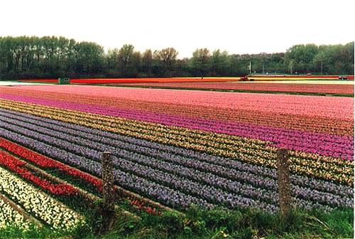 Olanda, campo di tulipani in primavera