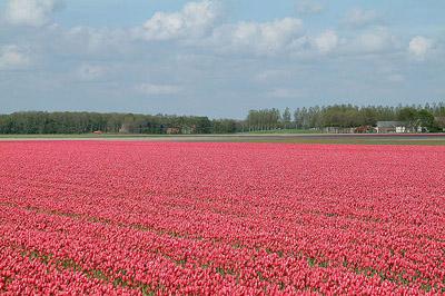 Tulipani rossi campo
